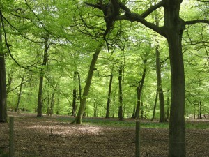 Cowleaze Wood, Forestry Commission land on the Chiltern escarpment, Oxfordshire