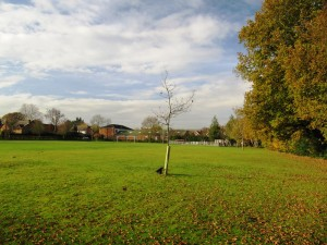 The Jubilee Oak is threatened by the proposed skate bowl