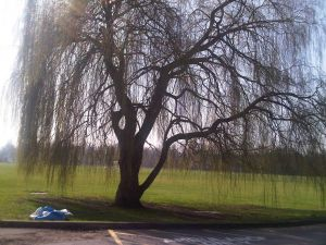 View under threat: the proposed nursery would be on the other side of the willow.