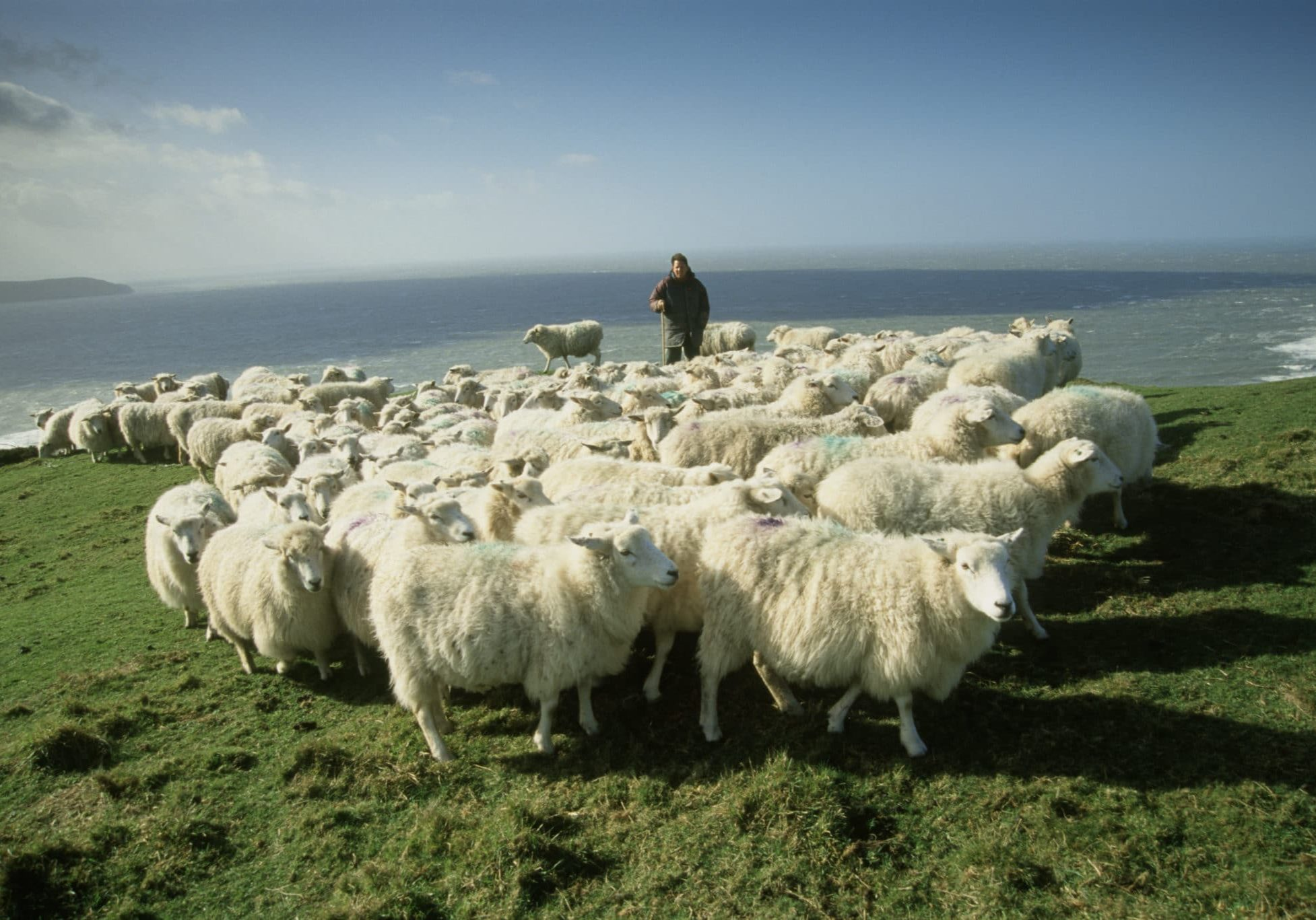 Romney sheep and shepherd on cliff-top at Morte Point, North Devon.